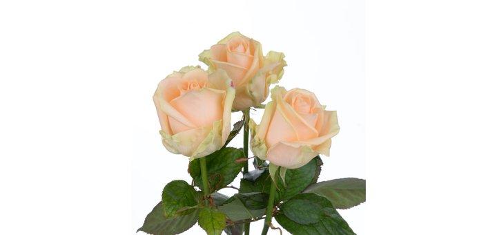 Скидка 35% на розу Пич Аваланч 60 см
