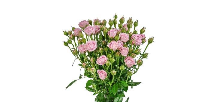 Роза спрей Хэппи Йо-Йо 60 см 25 грн/шт